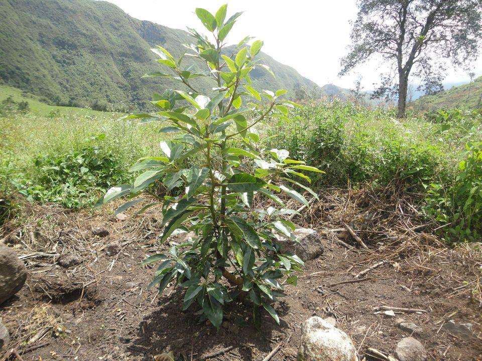 Junger Baum Anfang 2013 im Irubí-Schutzgebiet