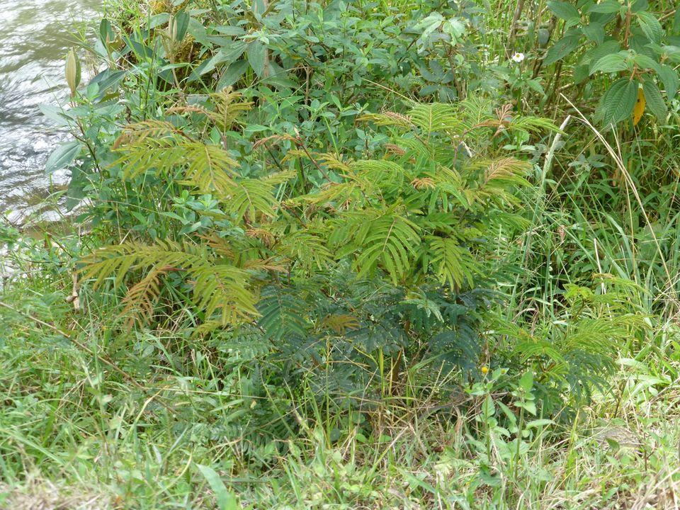 """Im Schatten dieses """"Tura""""-Baums wird künftig weniger Wasser verdunsten"""