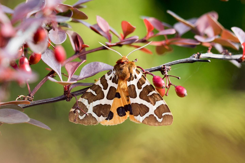 Brauner Bär - Schmetterling des Jahres