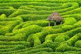 Ein Labyrinth aus Kirschlorbeerhecken