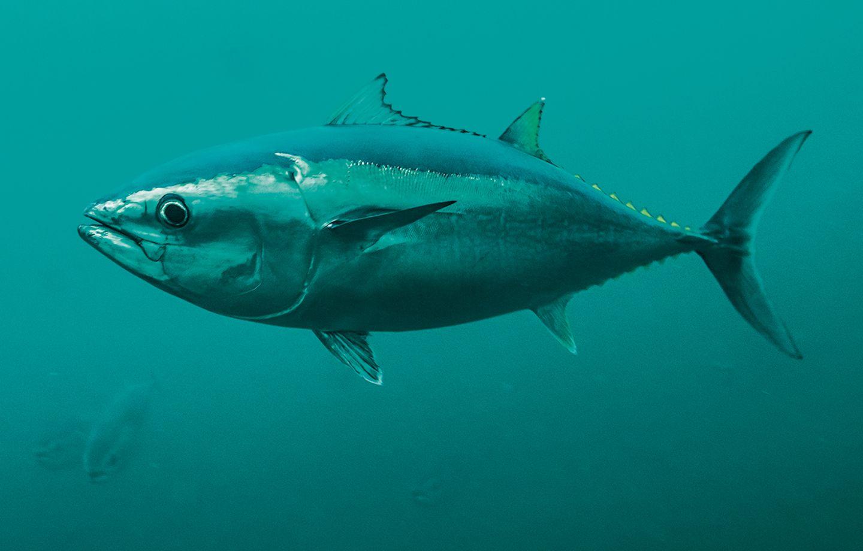 Ein Pazifischer Blauflossenthun