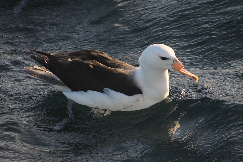 Albatros mit abgeschnittenem Schnabel