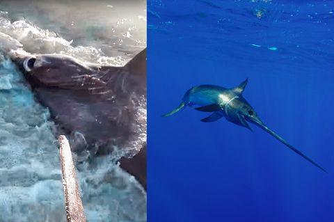 Schwertfisch tötet Hai