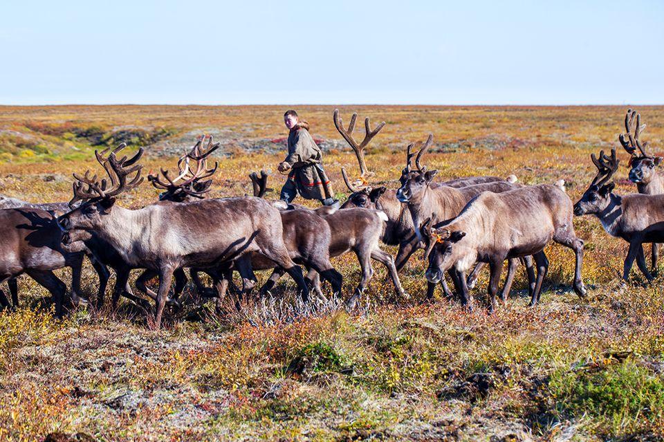 Rentiere in Sibirien