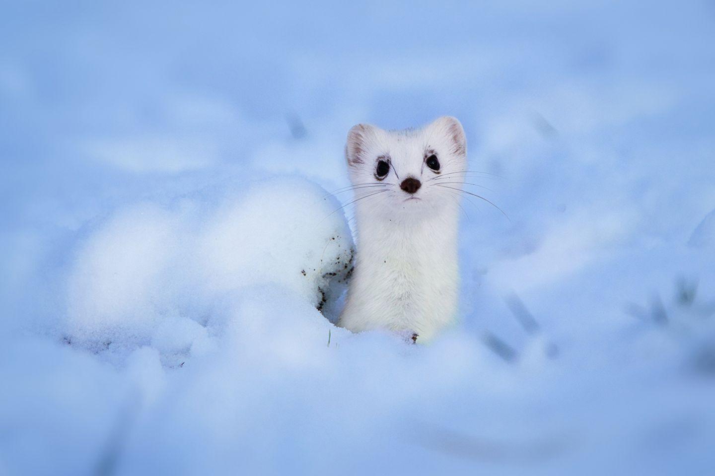 Wiesel im Schnee