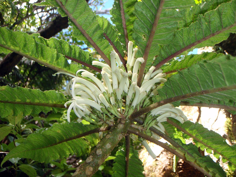 Cyanea heluensis