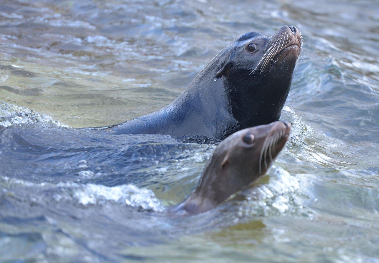 Neuseeland: Für eine Seelöwin und ihr Junges hat die neuseeländische Stadt Dunedin ihre eine Straße gesperrt