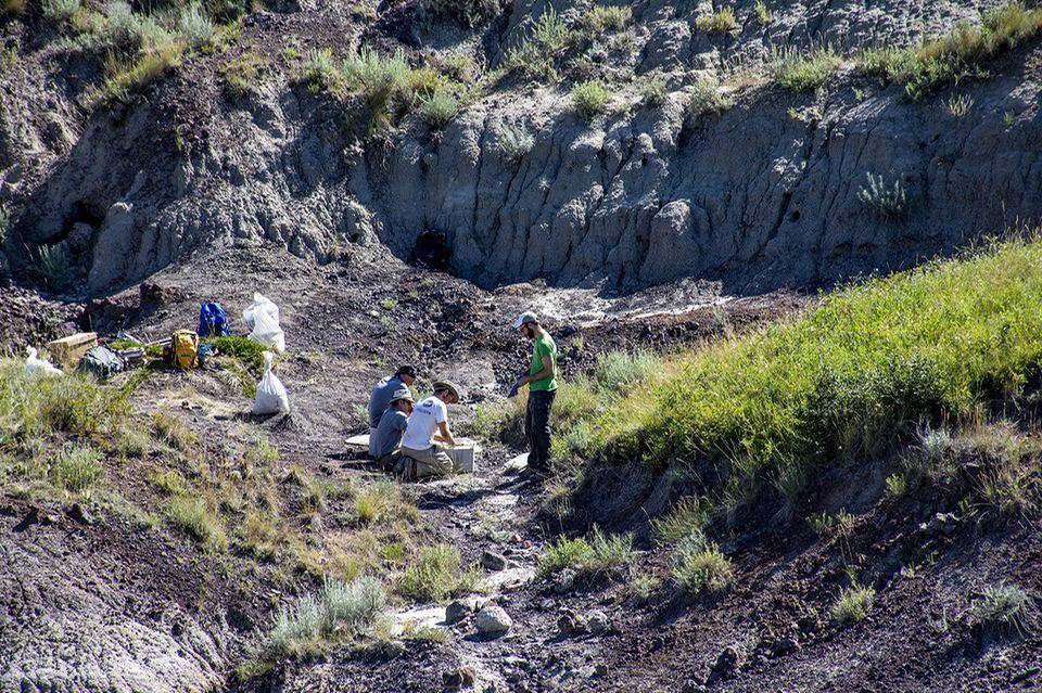 Forscher graben den Tyrannosaurus Rex aus