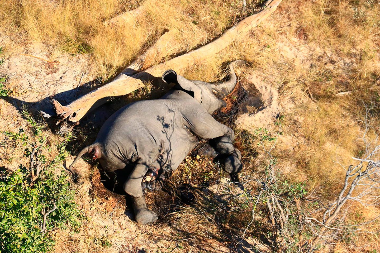 Toter Elefant in Botsuana
