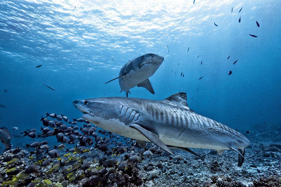 Zwei Tigerhaie im Ozean