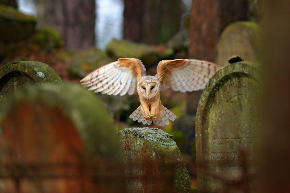 Schleiereule auf einem Friedhof