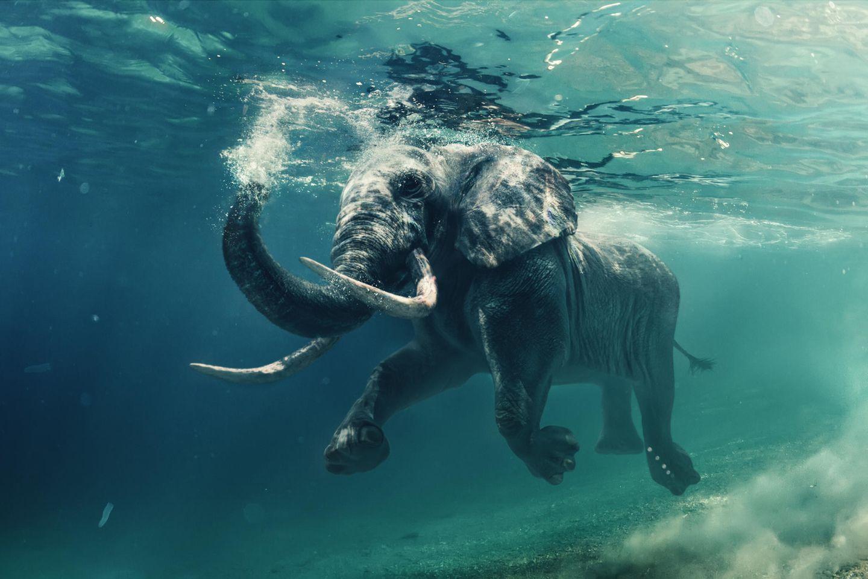 Schwimmender Elefant unter Wasser