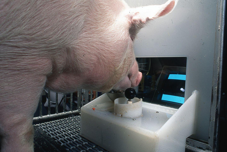 Schwein beim Experiment mit dem Joystick