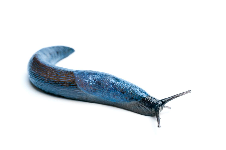 Blauschnegel