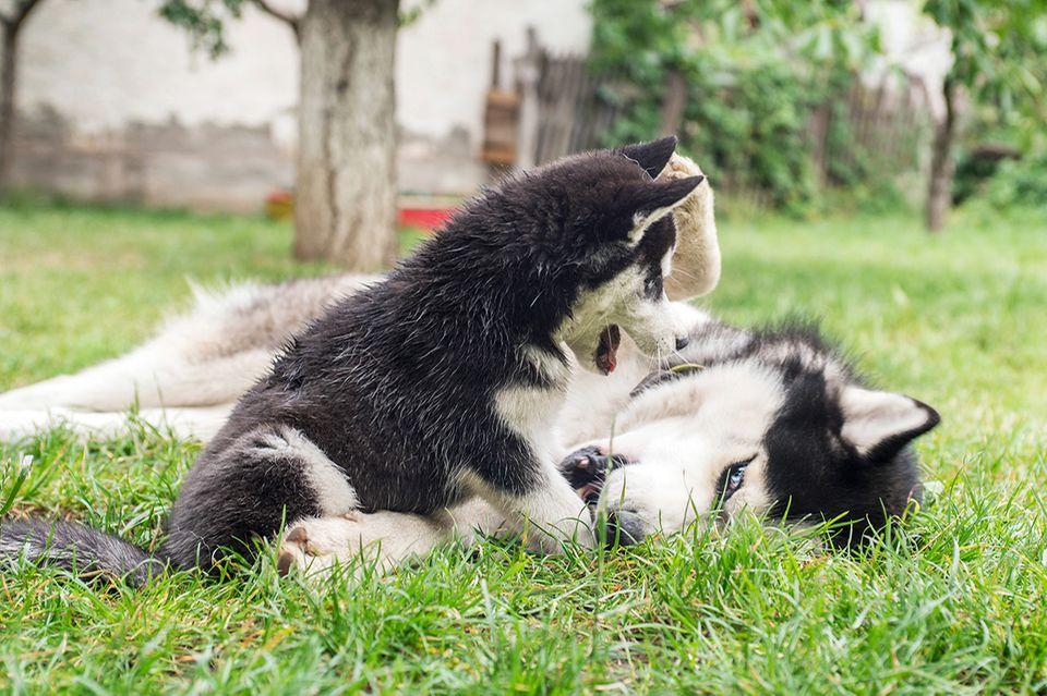 Chiots chien jouant