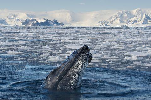 Buckelwal in der Antarktis