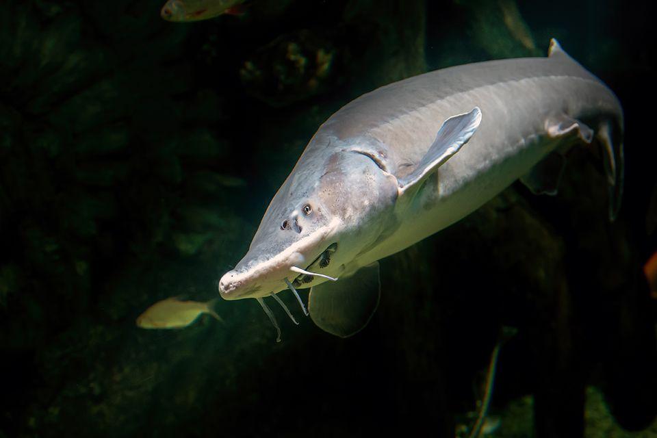 Beluga-Stör