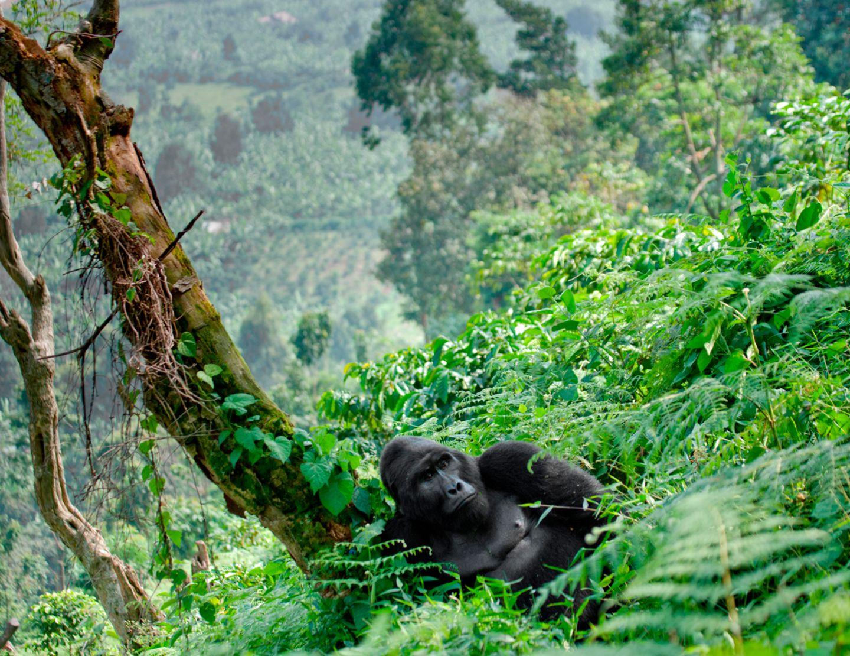 Virunga, Kongo