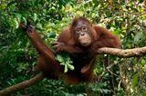 Orang-Utan; Borneo