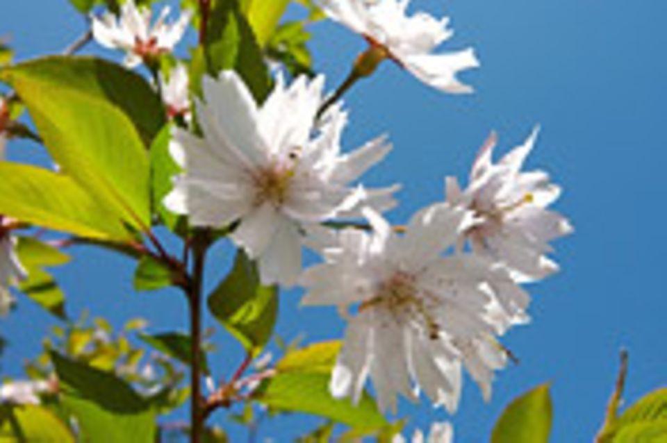 Schiebepuzzle: Nr. 85: Kirschblüte