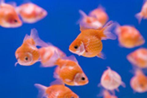 Schiebepuzzle: Goldfische