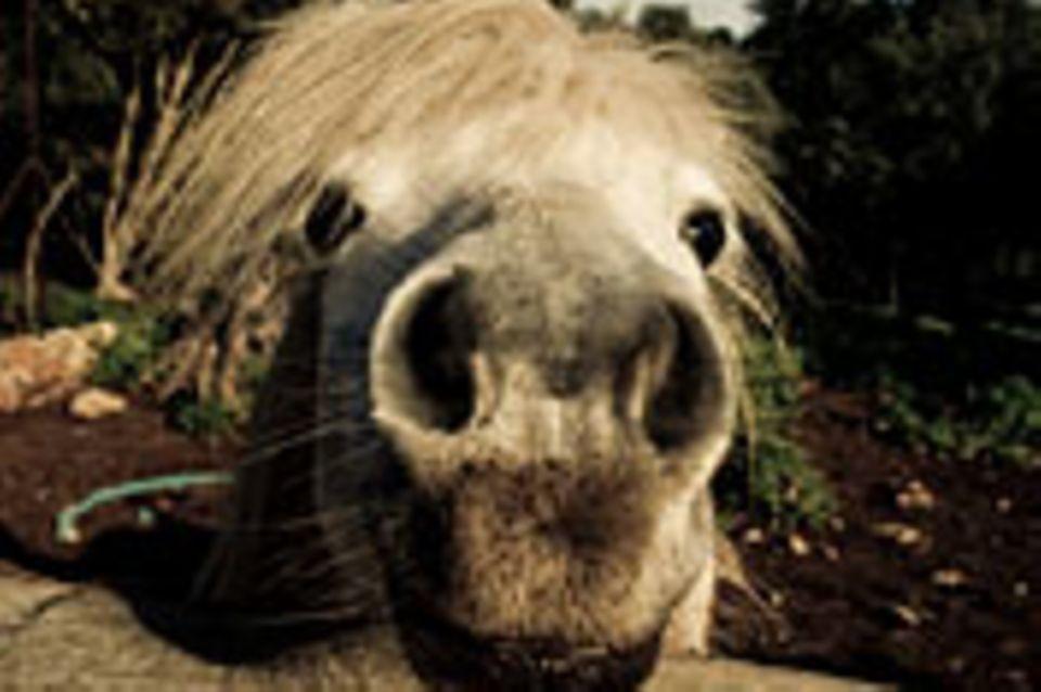 Schiebepuzzle: Nr. 66: Pferd
