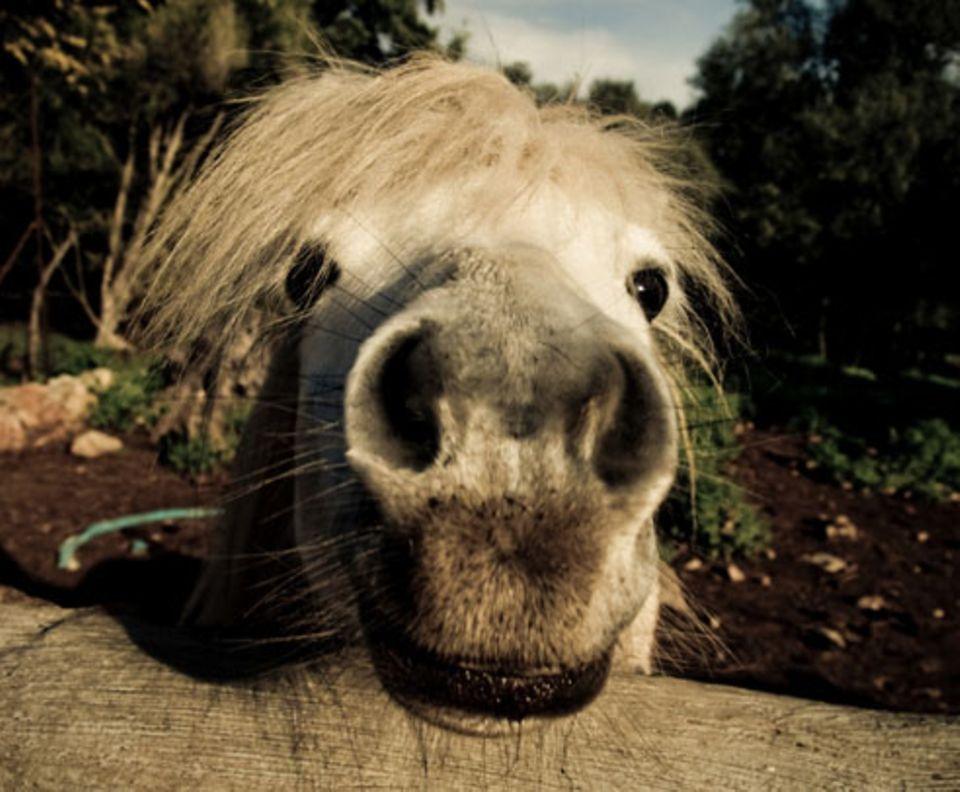 Nr. 66: Pferd
