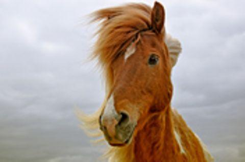 Schiebepuzzle: Nr. 90: Pony