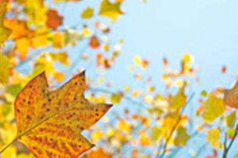 Schiebepuzzle: Nr. 100: Herbstlaub