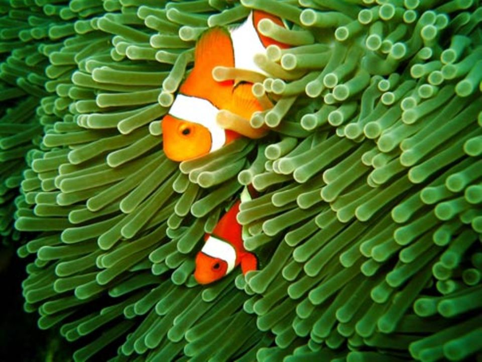 Schiebepuzzle: Anemonenfische