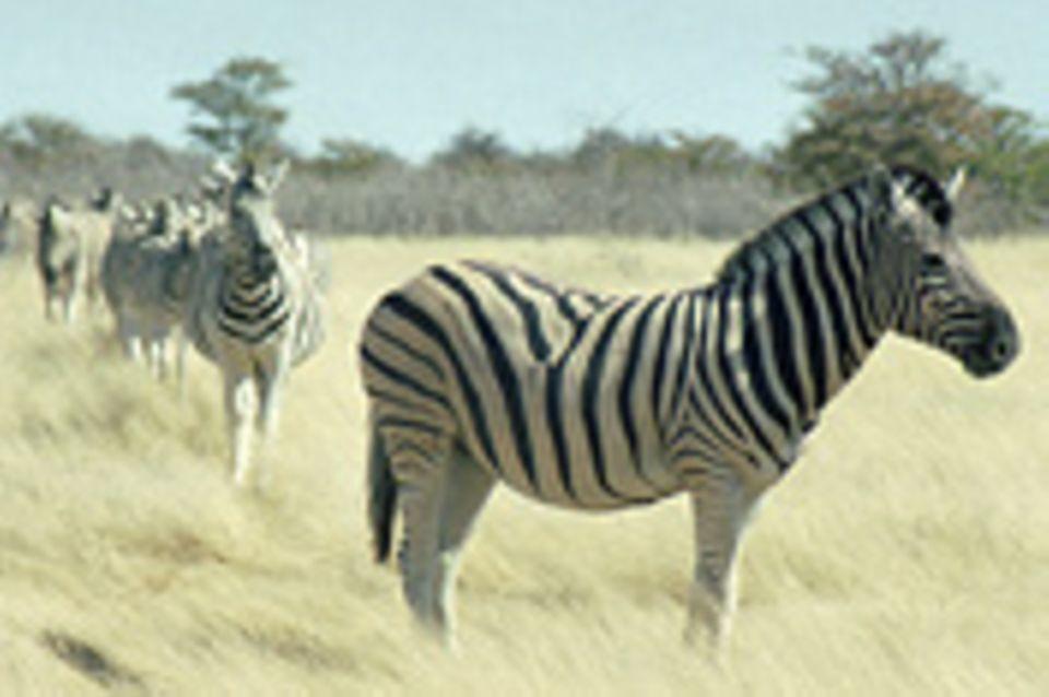 Schiebepuzzle: Zebras