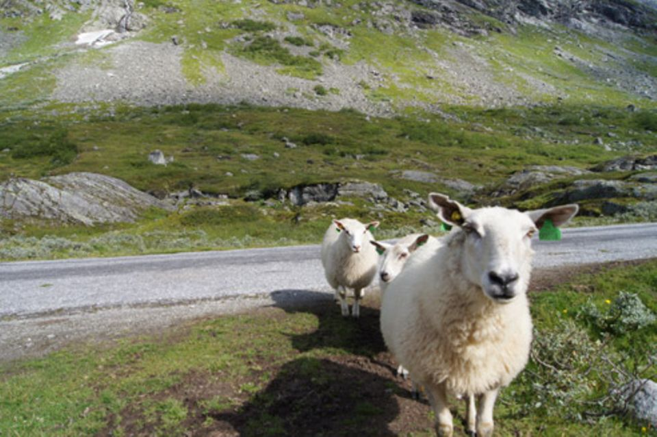 Puzzle: Schafe in Norwegen