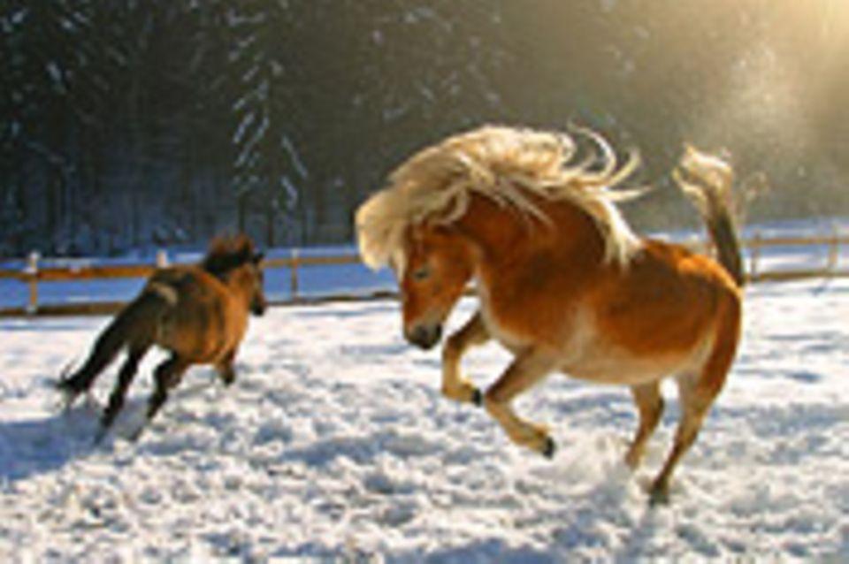 Schiebepuzzle: Pferde