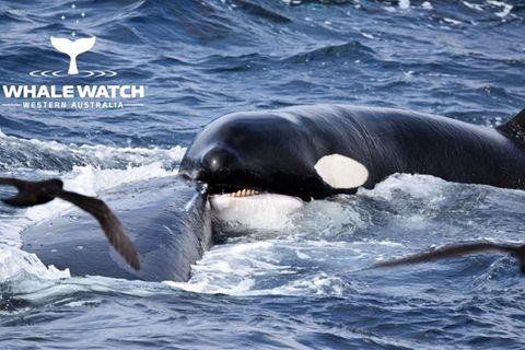 Buckelwal wird von Schwertwalen attackiert