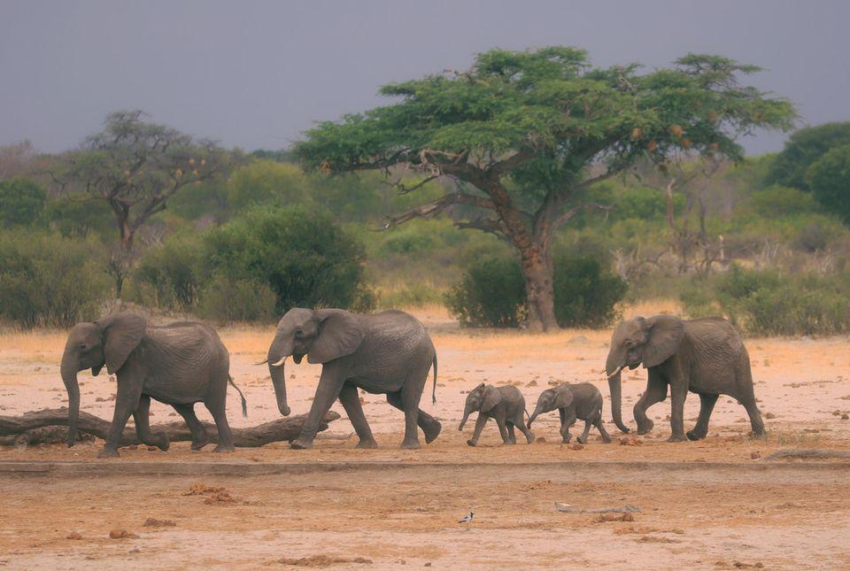 Okavango-Delta: Eine Elefantenherde ist im Hwange-Nationalpark auf der Suche nach Wasser. Wilderei und beengte Lebensräume gefährden die Tiere - auch in Zeiten der Corona-Pandemie