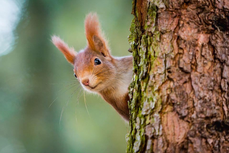 Eichhörnchen schaut hinter einem Baumstamm hervor