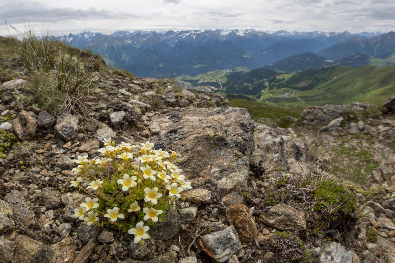 Neue Studie: Eine verzögerte Folge des Klimawandels: Hochspezialisierte Pflanzen wie der Moosartige Steinbrech könnten an bestimmten Orten der Alpen aussterben, wenn die Gletscher vollständig abschmelzen