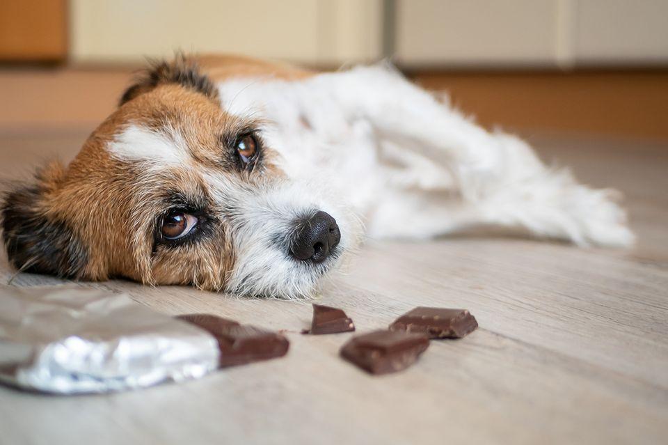 Hund mit Bauchschmerzen wegen Schokolade