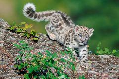Ein junger Schneeleopard in der Natur