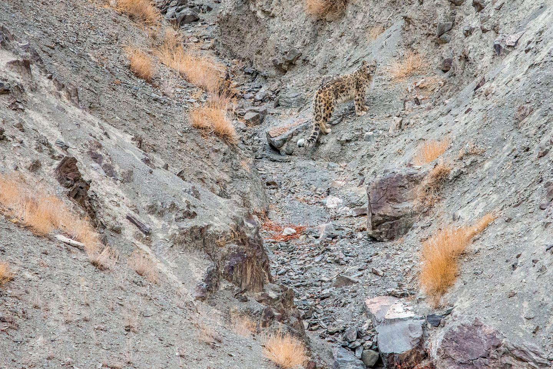 Schneeleopard auf Geröll