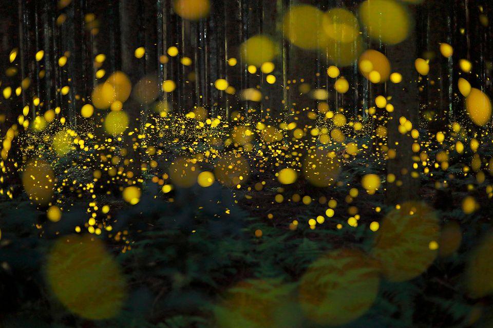 Glühwürmchen in einem Wald in Japan
