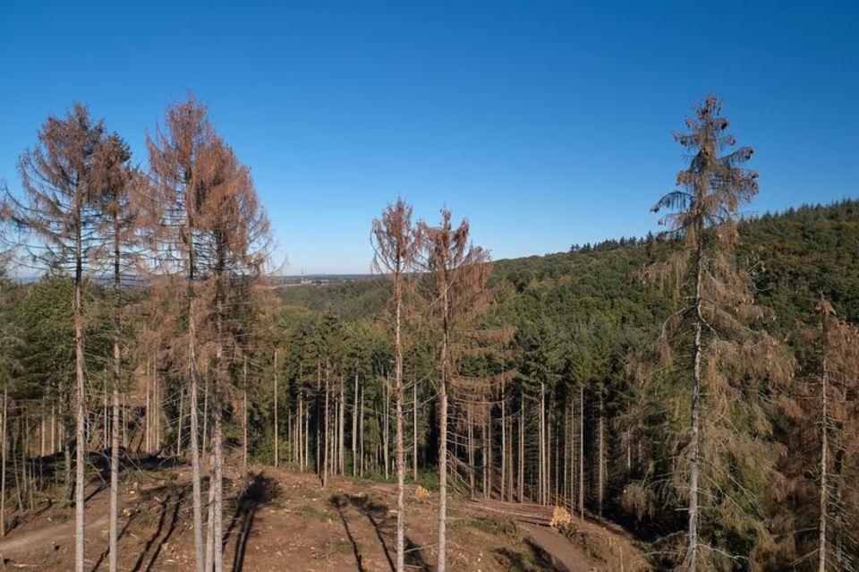Die Fichten im Koblenzer Stadtwald hat die extrem lange Trockenheit nachhaltig geschädigt
