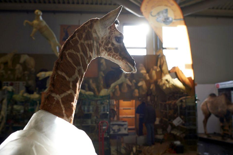 Eine präparierte Giraffe steht in Dortmund auf einer Jagdmesse am Stand eines Präperators (2014). Großwildjäger aus Deutschland haben im vergangenen Jahr Hunderte im Washingtoner Artenschutzübereinkommen gelistete Tiere als Trophäen mit nach Hause gebracht