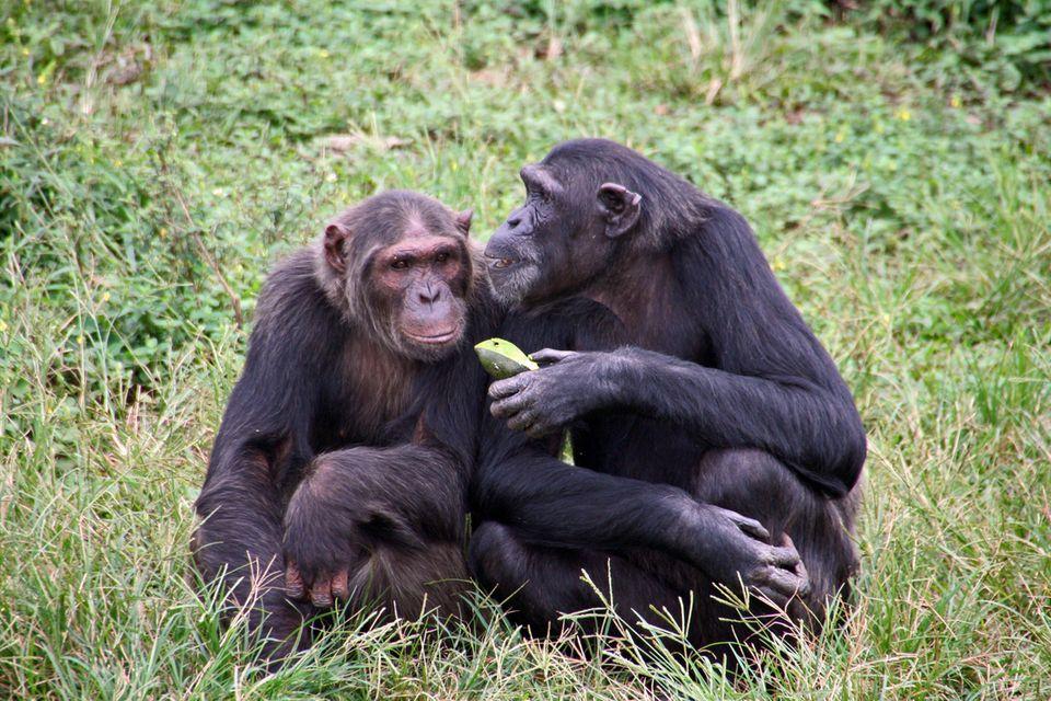 Zwei Schimpansen teilen eine Frucht