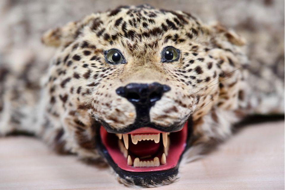 Ein Archivfoto aus 2016 zeigtein beschlagnahmtes Leopardenfell mit Kopf in der Zollabfertigungsstelle des Paketzentrums der Post inSpeyer,Rheinland-Pfalz