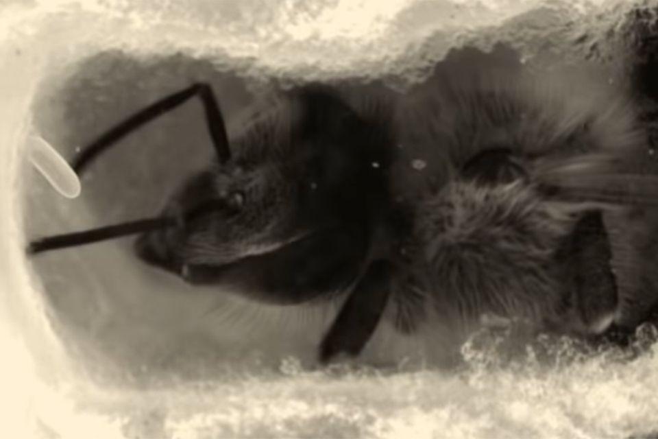 Bienen: Seltene Aufnahmen: Forscher filmen das Innenleben einer Bienenwabe