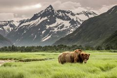 Grizzly in Alaska