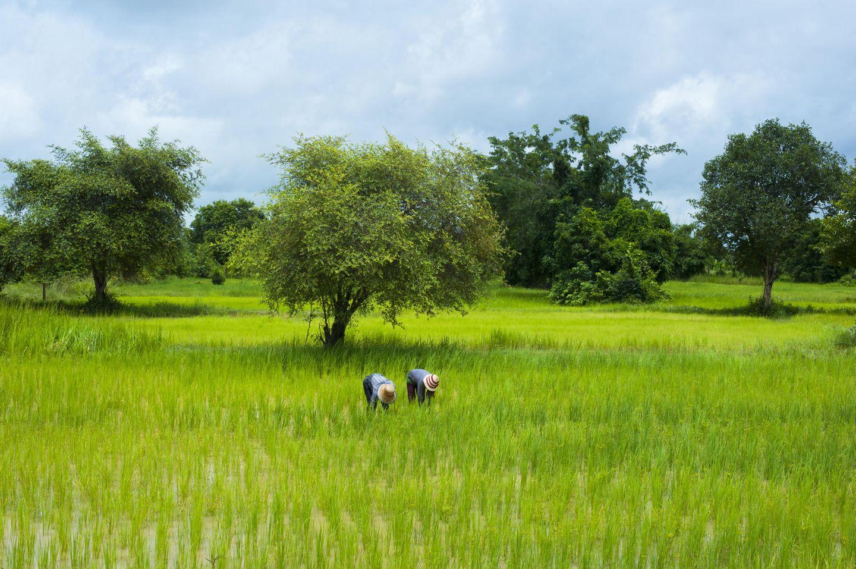 Reisfelder von Battambang