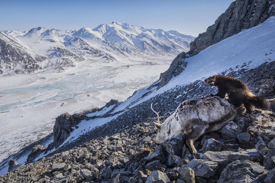 A small female wolverine feeds on a caribou carcass in Alaska's Brook Range. A pack of wolves chased a small herd of caribou herd over cliffs, killing 8 of the caribou. Wolves, bears, eagles, foxes and ravens gathered to feed on the carrion for a m...