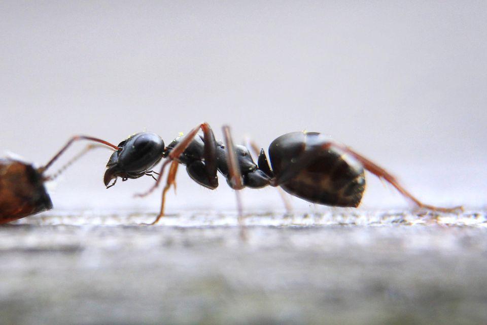 Immer mehr Ameisen werden weltweit gehandelt